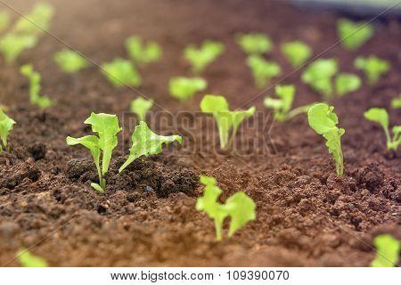 Rows Of Little Lettuce Plants On A Field.