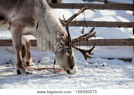Reindeer eating in Finnish lapland