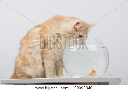 The Cat Drinks Water From The Aquarium With Goldfish