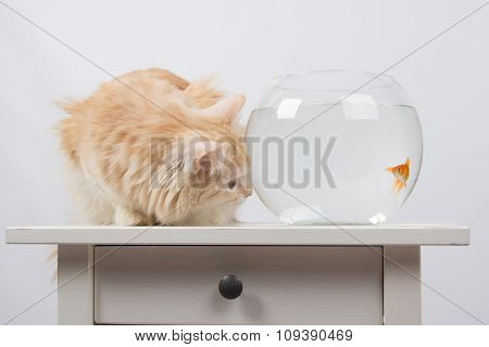 Goldfish Scared Cat