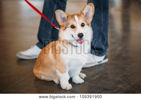 Close up portrait of young funny Welsh Corgi dog