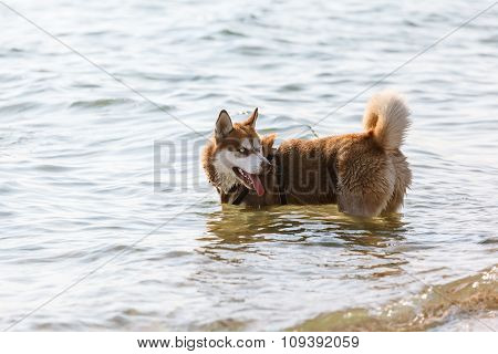 Husky Running On The Beach
