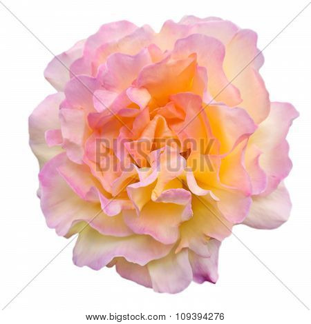 Yellow And Pink Rose Isolated On White