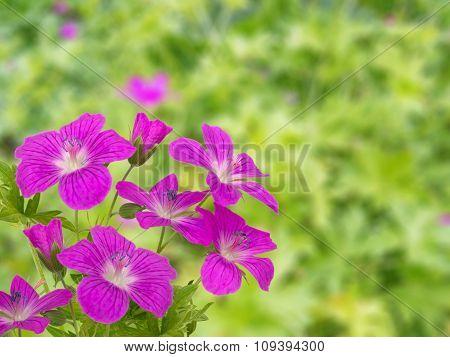 Geranium On The Blurred Garden Background