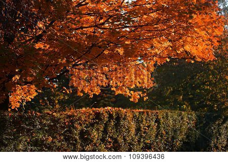 Picturesque Golden-leaved Trees And Hedge