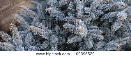 Beautiful Blue Spruce Needles
