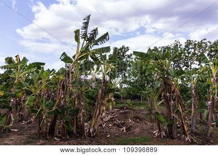 Banana Garden In Thai