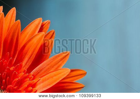 Orange Red Gerbera Flower on Blue Background