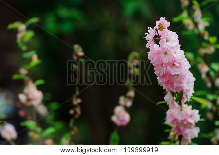 pink Delphinium in spring garden, tall attractive flower with big stems