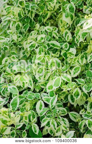 Variegated Red Twig Dogwood - shrub with multicolored leaves red shtems and attractive berries leave