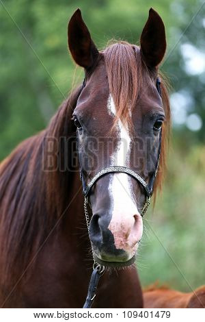 Beautiful Arabian Breed Mare Looking At Camera