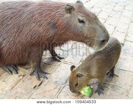 Capybara with pup, Pantanal, Brazil.