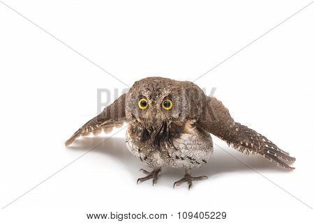 Oriental Scops Owl Isolate On White Background