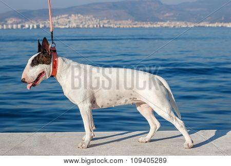 Bullterrier Standing On Sea Background