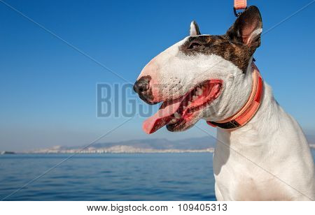 White Bullterrier With Brown Monocle