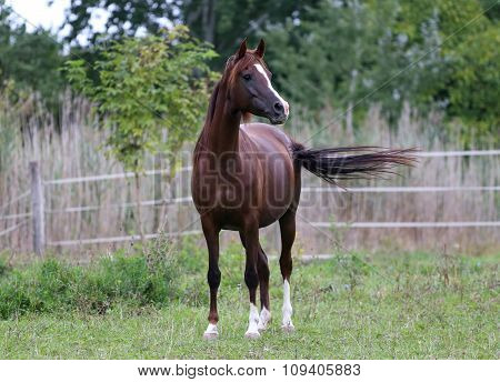 Beautiful Young Arabian Horse On Meadow Summer Time