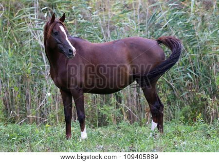 Thoroughbred Arabian Mare Standing On Summer Pasture