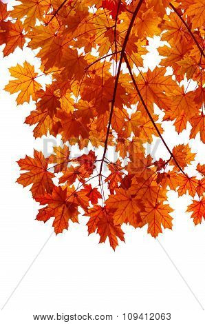 Autumn Twig Isolated On White Background