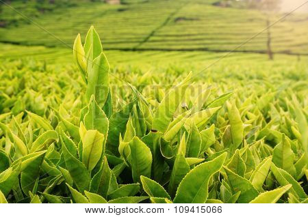 Green tea bud and leaves. Tea plantations at Bandung, Indonesia