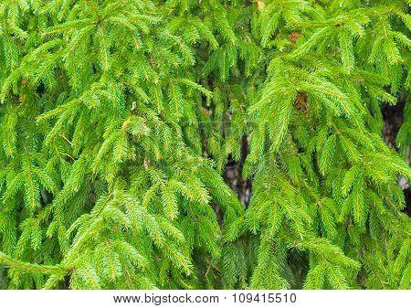 Branches Fir Closeup