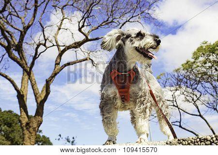 Miniature Schnauzer Dog Outdoor Portrait