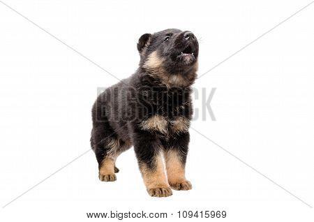 Cute German Shepherd puppy barks