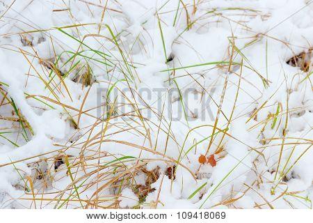 Grass Through The Fresh Snow