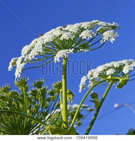 Giant Hogweed (heracleum sphondylium)