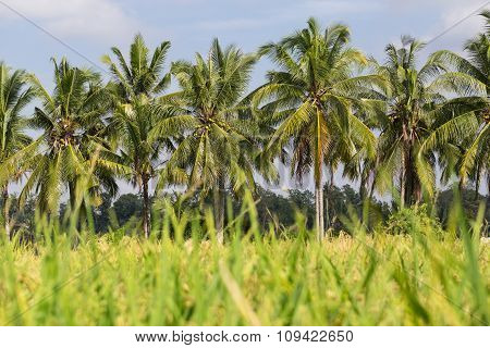 Coconut Palm Grove In Rice Field