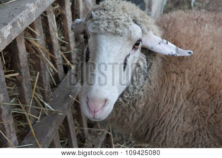 Sheep with hay