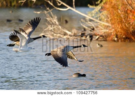 Two Geese And A Gull Flying Low Over The Autumn Pond