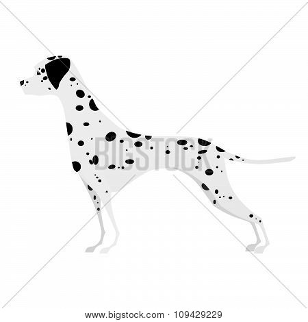 Young Dalmatian, standing in profile of white background