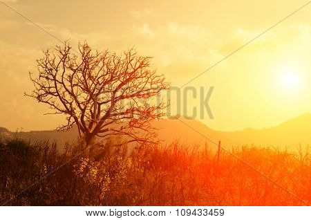 Silhouette apple tree in orchard with golden sunlight, India.