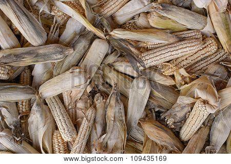 Bunch Dry Corn