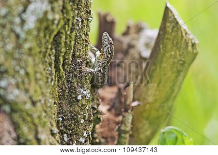 Lizard As It Climbs Up A Tree