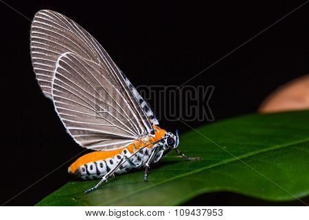Snouted Tiger Moth On Green Leaf