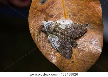 Syntypistis Comatus Moth On Dried Leaf