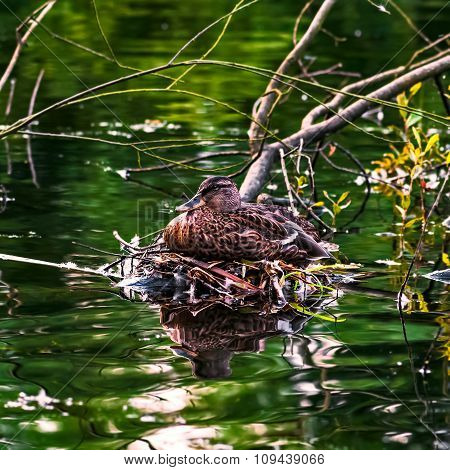Mallard duck female laying on her nest by the river stream