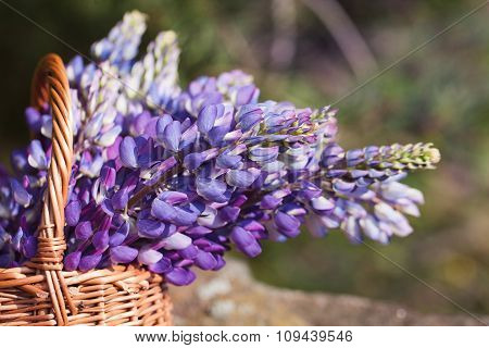 Closeup Beautiful Violet Lupine Bouquet In Basket On The Open Ai