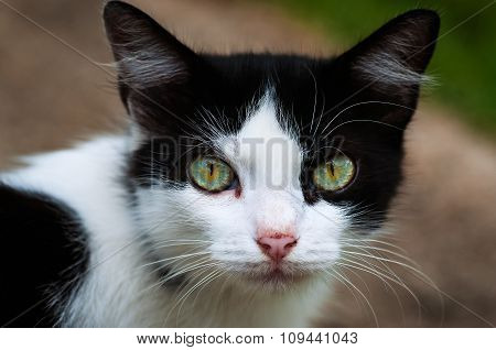 Black and white cat staring at the camera full eye contact closeup