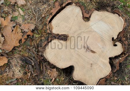 Top View Of A Big Cut Tree