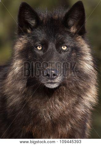 Wolf head shot