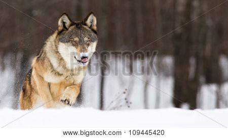 wolf licking his nose