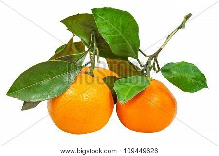 Twigs With Fresh Abkhazian Tangerines Isolated