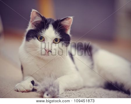 Portrait Of A Black-and-white Beautiful Domestic Cat