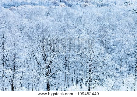 Snow Forest In Blue Cold Winter Morning