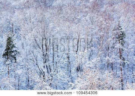 Pine Trees In Snow Woods In Winter