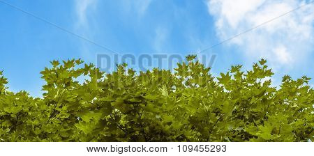 Green Maple Leaves On Background Of Blue Sky And Clouds