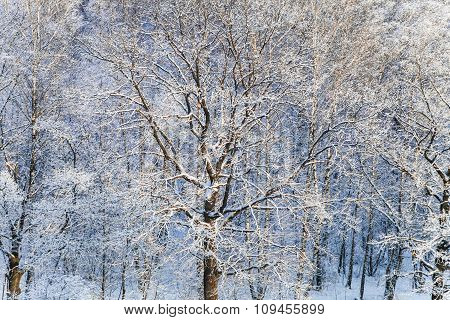 Snow Covered Oak And Birch Trees In Snow Forest