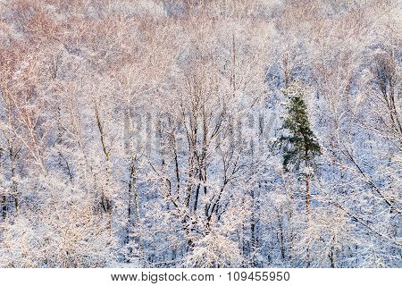 Pine Tree In Snow Forest Illuminated By Sunlight